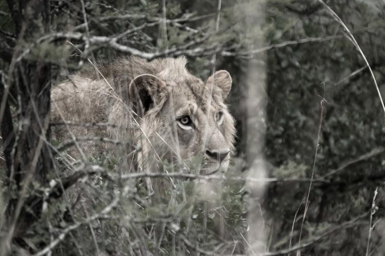 Fine Art Lion