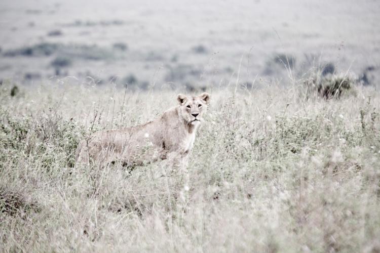 Fine Art Lioness_1